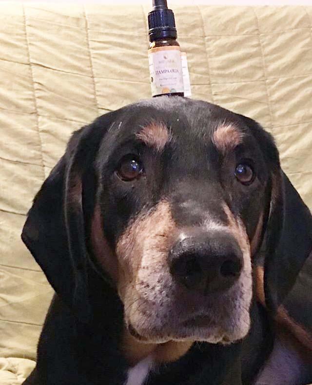 Hampa CBD OLJA hund spagyrisk alkemisk djur hampaolja cbdolja till hundar